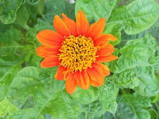 my orange flower